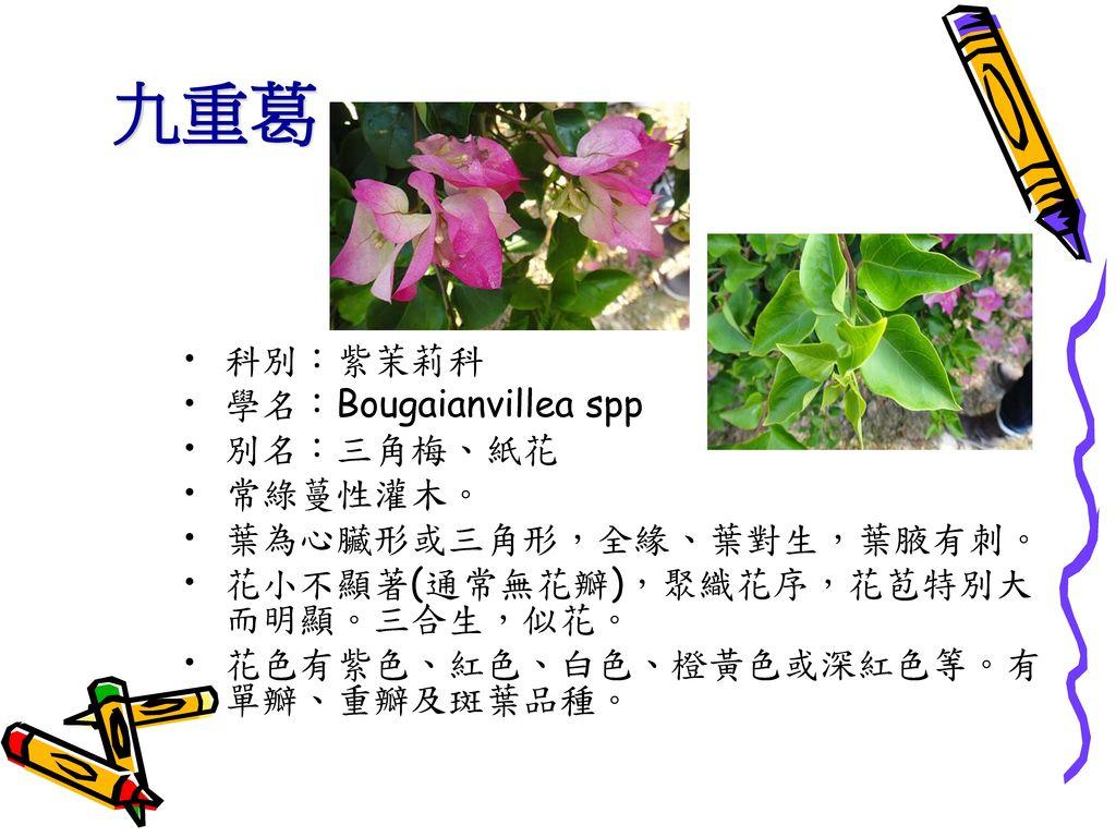 九重葛 科別:紫茉莉科 學名:Bougaianvillea spp 別名:三角梅、紙花 常綠蔓性灌木。