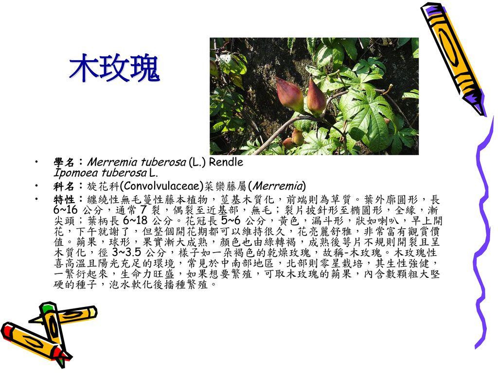 木玫瑰 學名:Merremia tuberosa (L.) Rendle Ipomoea tuberosa L.