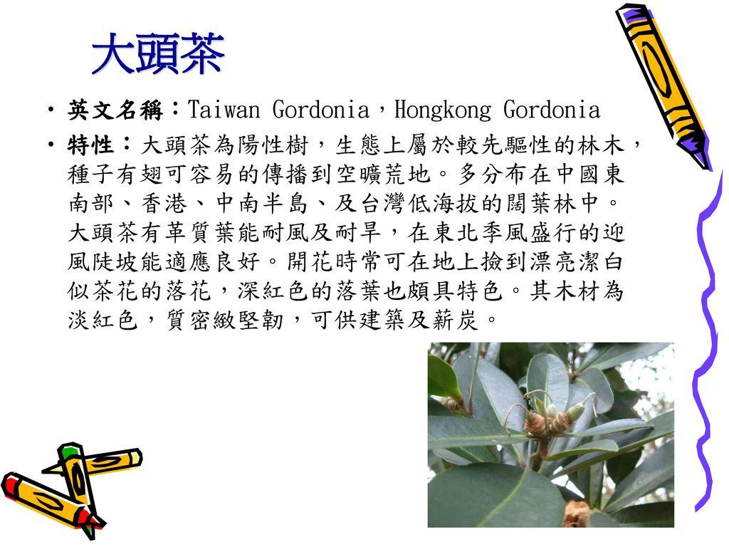 大頭茶 英文名稱:Taiwan Gordonia,Hongkong Gordonia