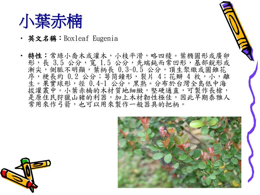 小葉赤楠 英文名稱:Boxleaf Eugenia