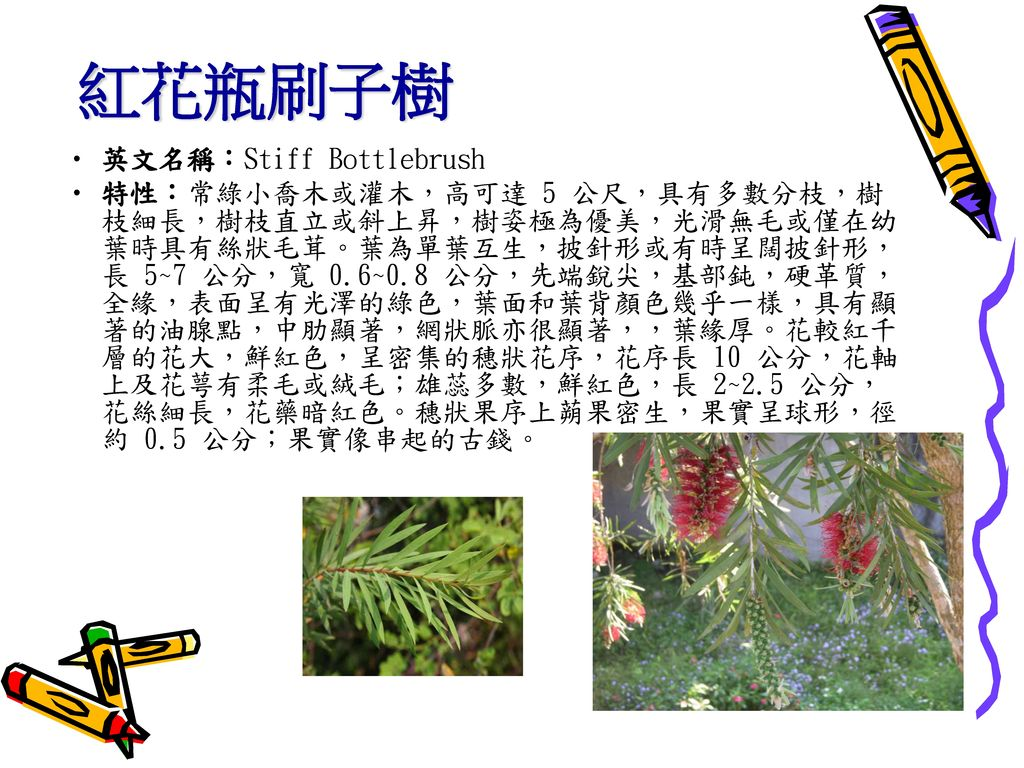 紅花瓶刷子樹 英文名稱:Stiff Bottlebrush