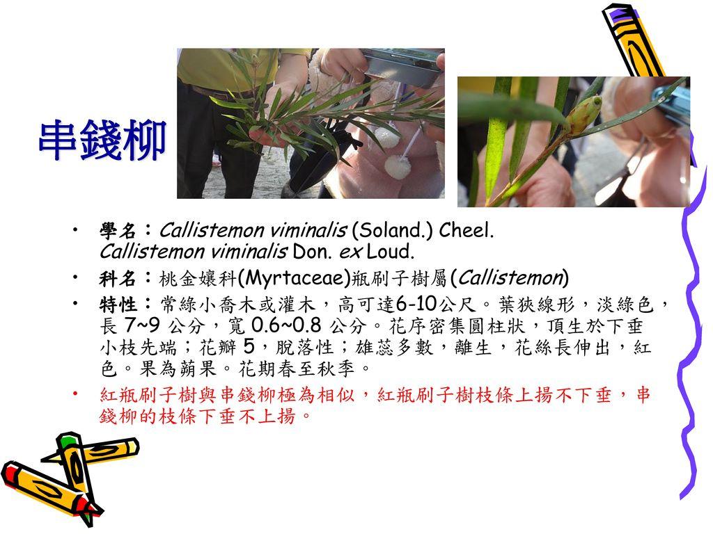 串錢柳 學名:Callistemon viminalis (Soland.) Cheel. Callistemon viminalis Don. ex Loud. 科名:桃金孃科(Myrtaceae)瓶刷子樹屬(Callistemon)