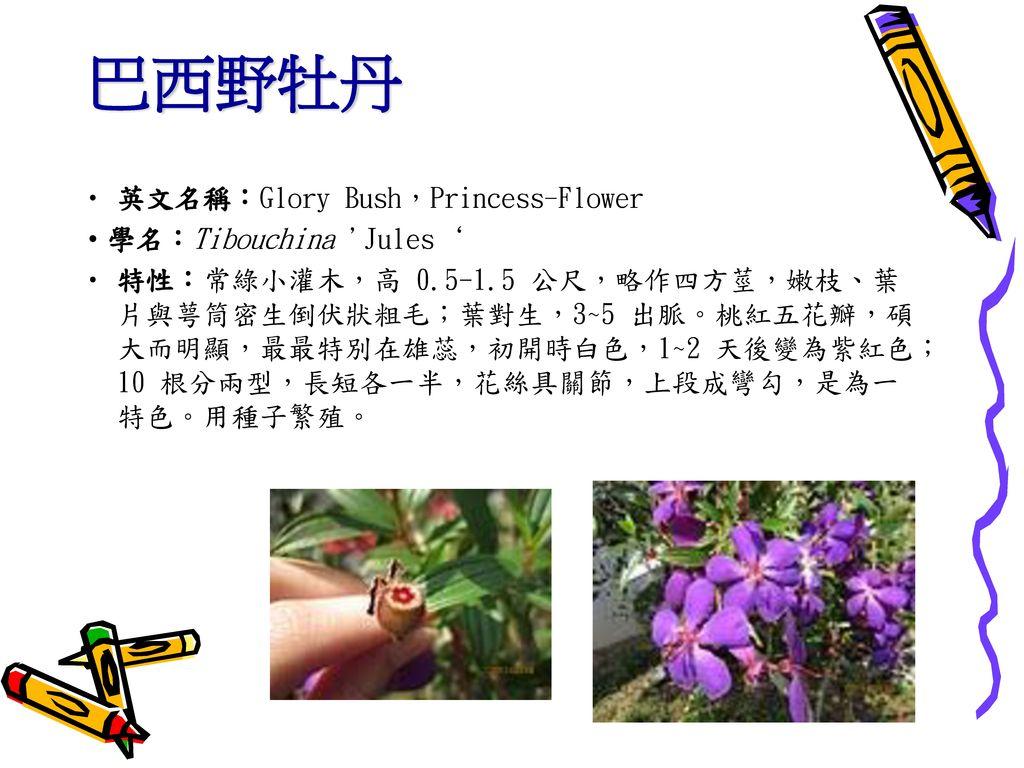 巴西野牡丹 英文名稱:Glory Bush,Princess-Flower ‧學名:Tibouchina Jules'