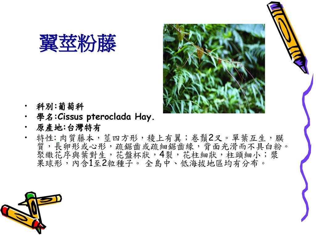 翼莖粉藤 科別:葡萄科 學名:Cissus pteroclada Hay. 原產地:台灣特有
