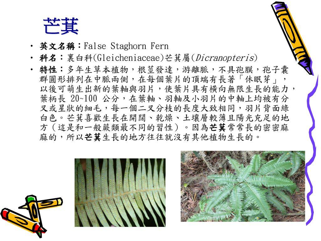 芒萁 英文名稱:False Staghorn Fern 科名:裏白科(Gleicheniaceae)芒萁屬(Dicranopteris)