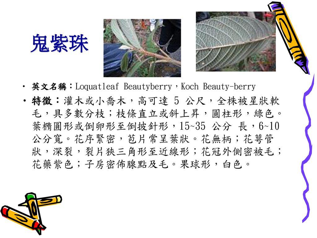 鬼紫珠 英文名稱:Loquatleaf Beautyberry,Koch Beauty-berry.
