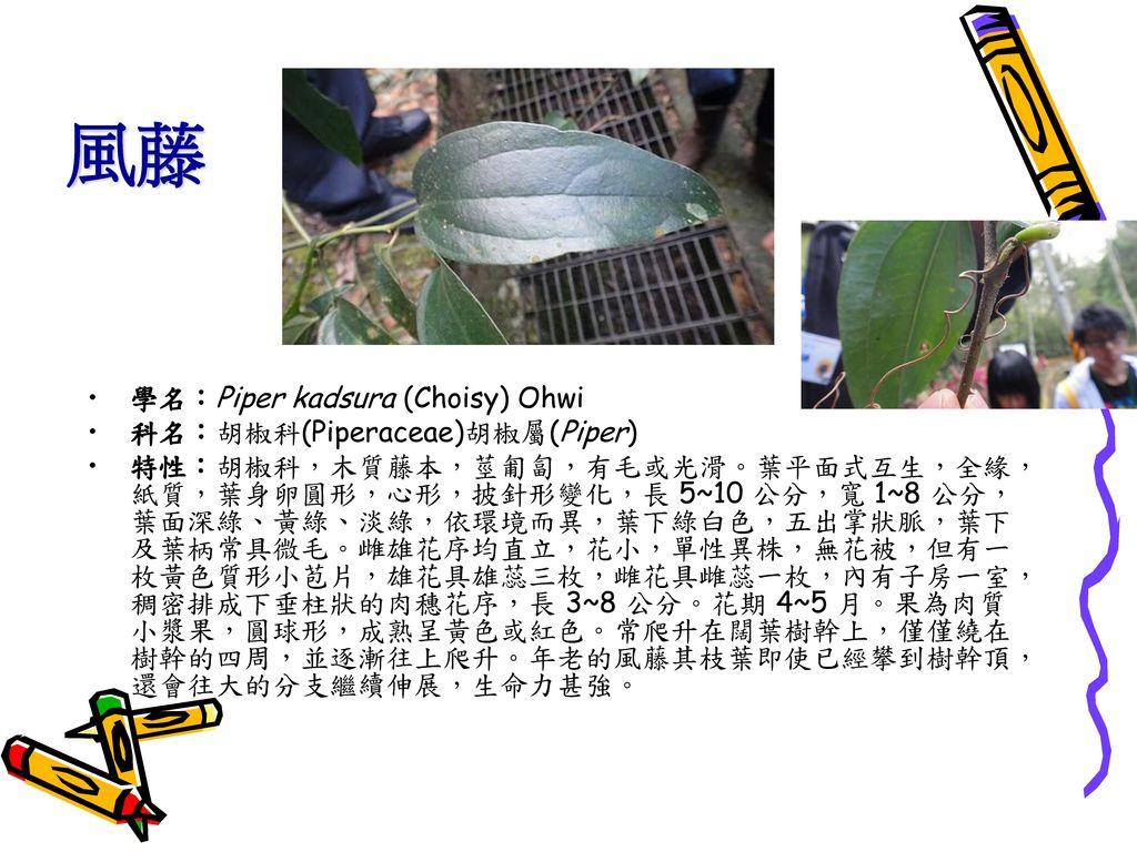 風藤 學名:Piper kadsura (Choisy) Ohwi 科名:胡椒科(Piperaceae)胡椒屬(Piper)