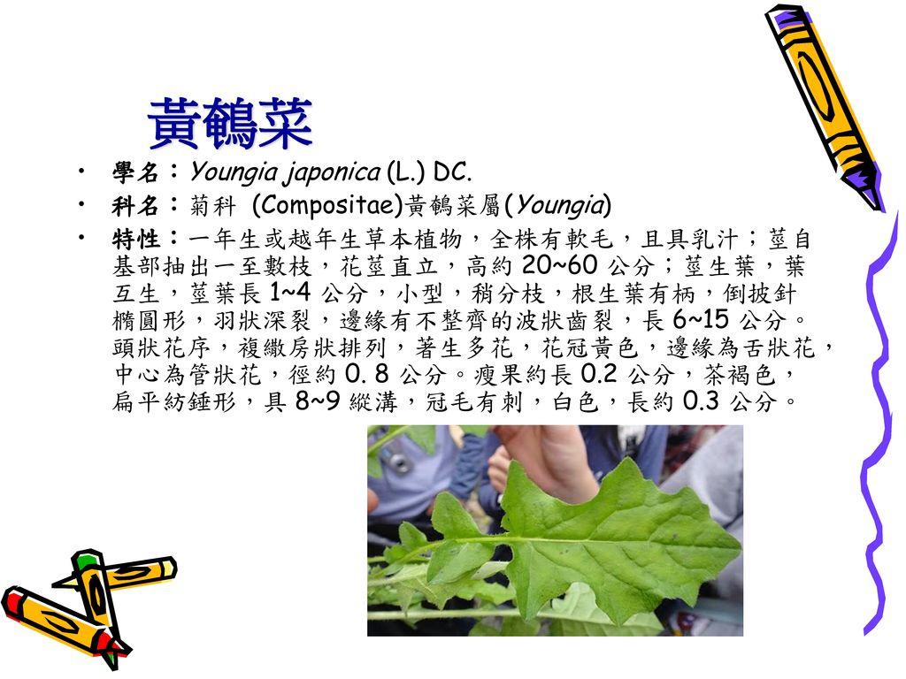 黃鵪菜 學名:Youngia japonica (L.) DC. 科名:菊科 (Compositae)黃鵪菜屬(Youngia)