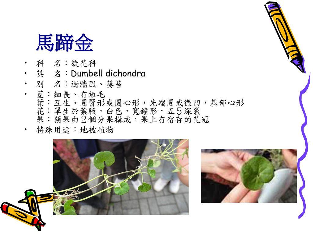 馬蹄金 科 名:旋花科 英 名:Dumbell dichondra 別 名:過牆風、葵苔