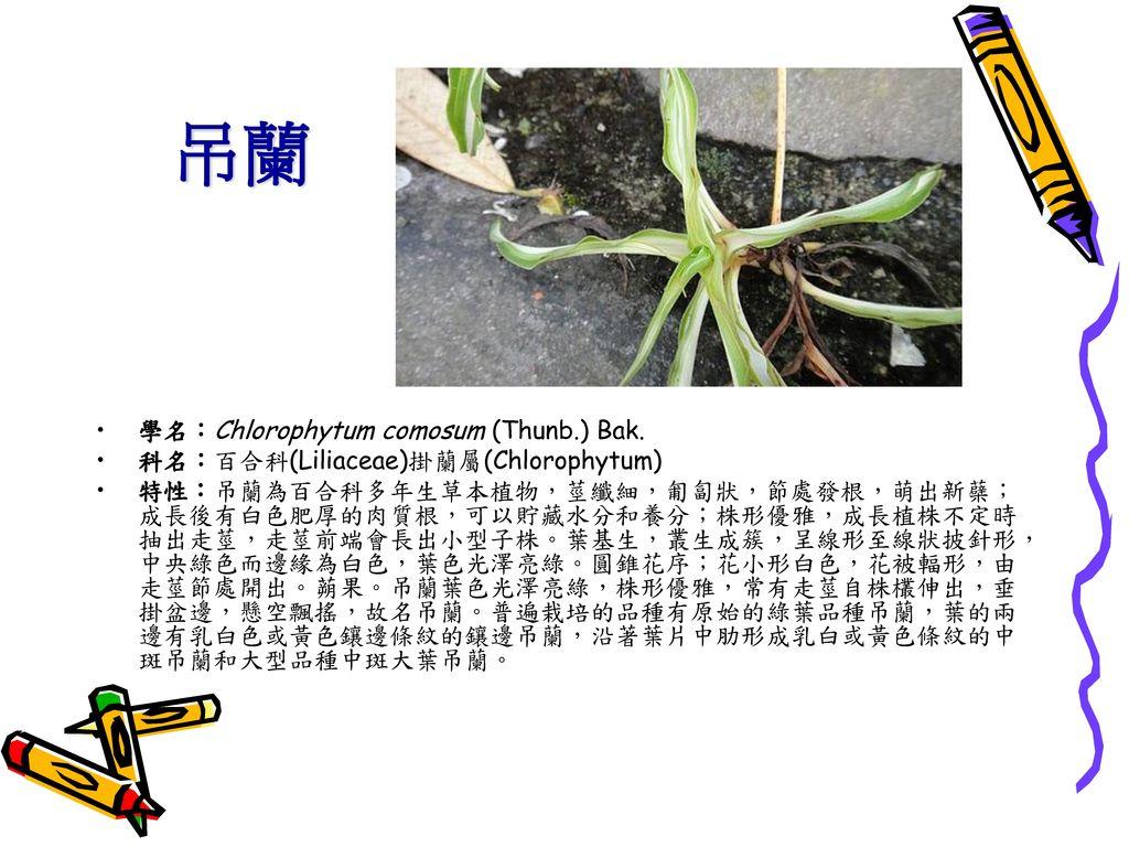 吊蘭 學名:Chlorophytum comosum (Thunb.) Bak.