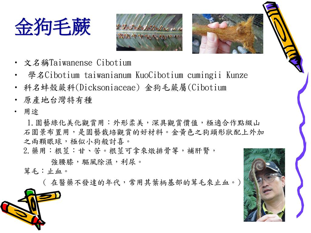 金狗毛蕨 文名稱Taiwanense Cibotium