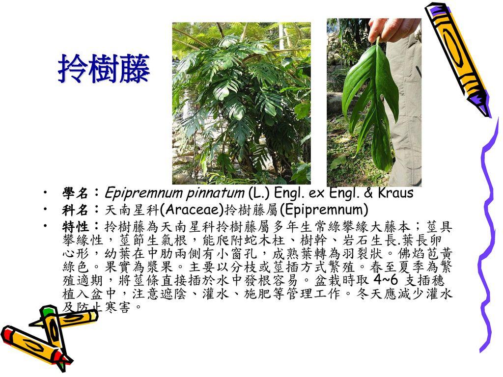 拎樹藤 學名:Epipremnum pinnatum (L.) Engl. ex Engl. & Kraus