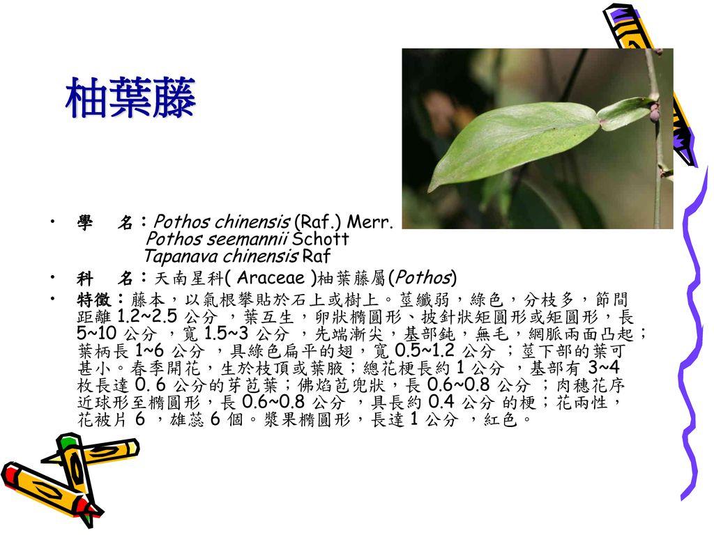 柚葉藤 學 名:Pothos chinensis (Raf.) Merr. Pothos seemannii Schott Tapanava chinensis Raf.