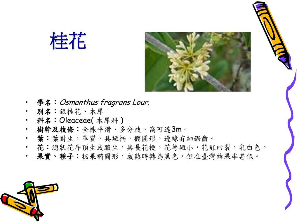 桂花 學名:Osmanthus fragrans Lour. 別名:銀桂花、木犀 科名:Oleaceae( 木犀科 )
