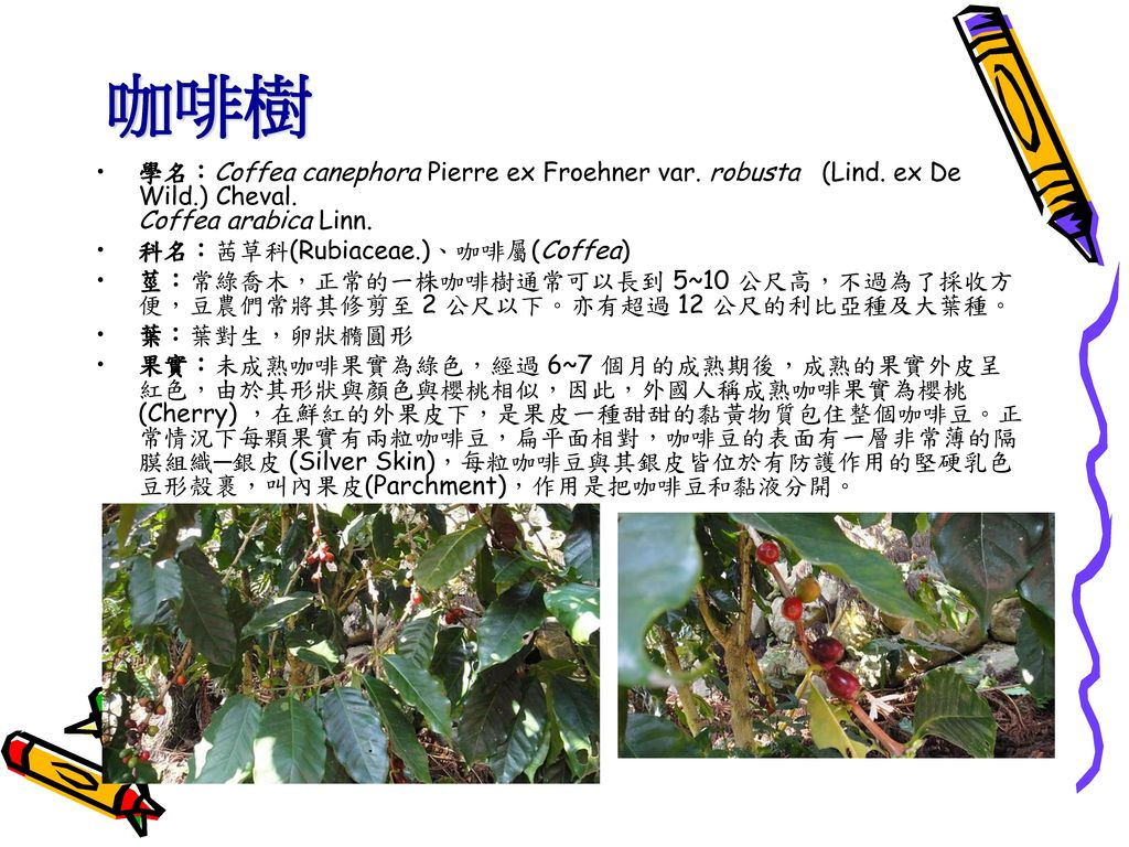 咖啡樹 學名:Coffea canephora Pierre ex Froehner var. robusta (Lind. ex De Wild.) Cheval. Coffea arabica Linn.