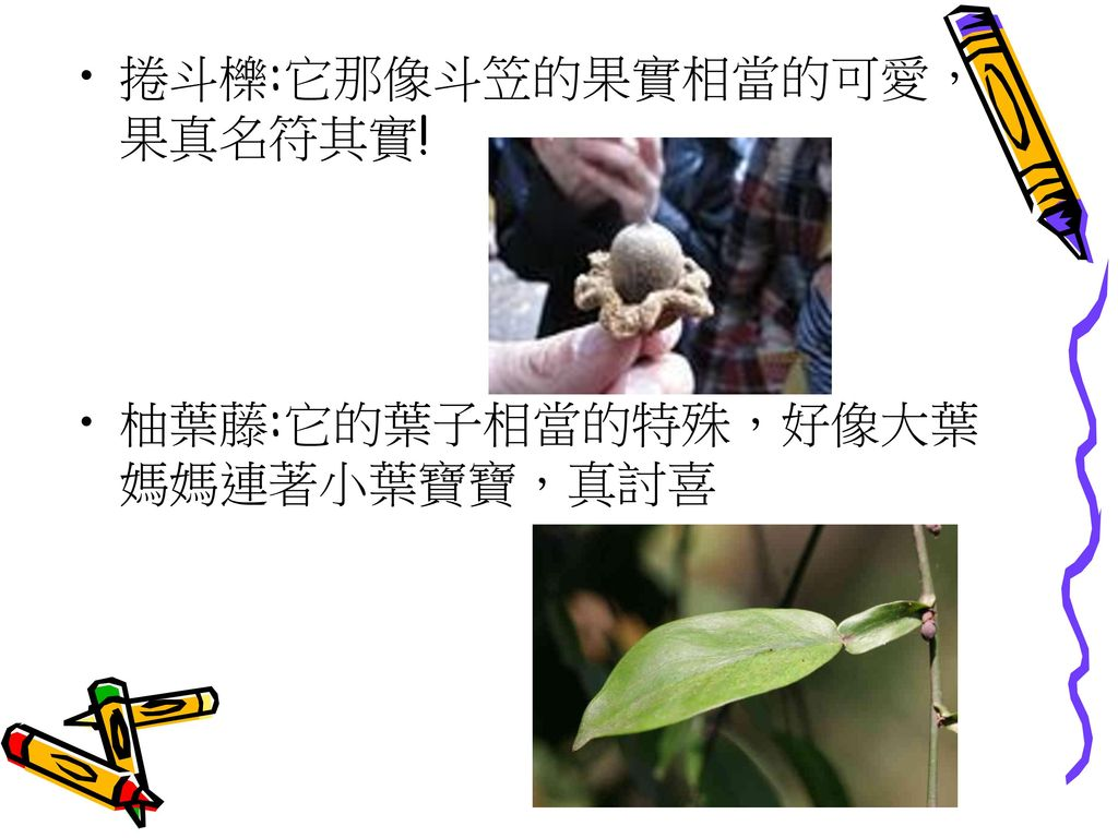 捲斗櫟:它那像斗笠的果實相當的可愛,果真名符其實!