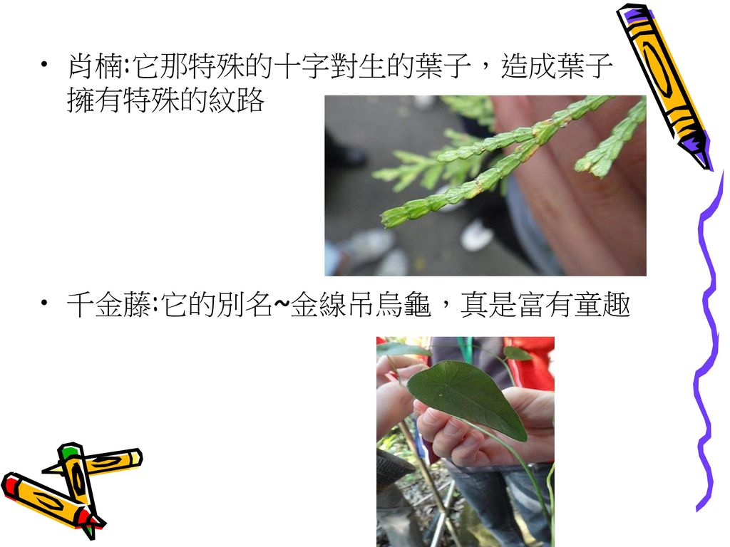 肖楠:它那特殊的十字對生的葉子,造成葉子擁有特殊的紋路