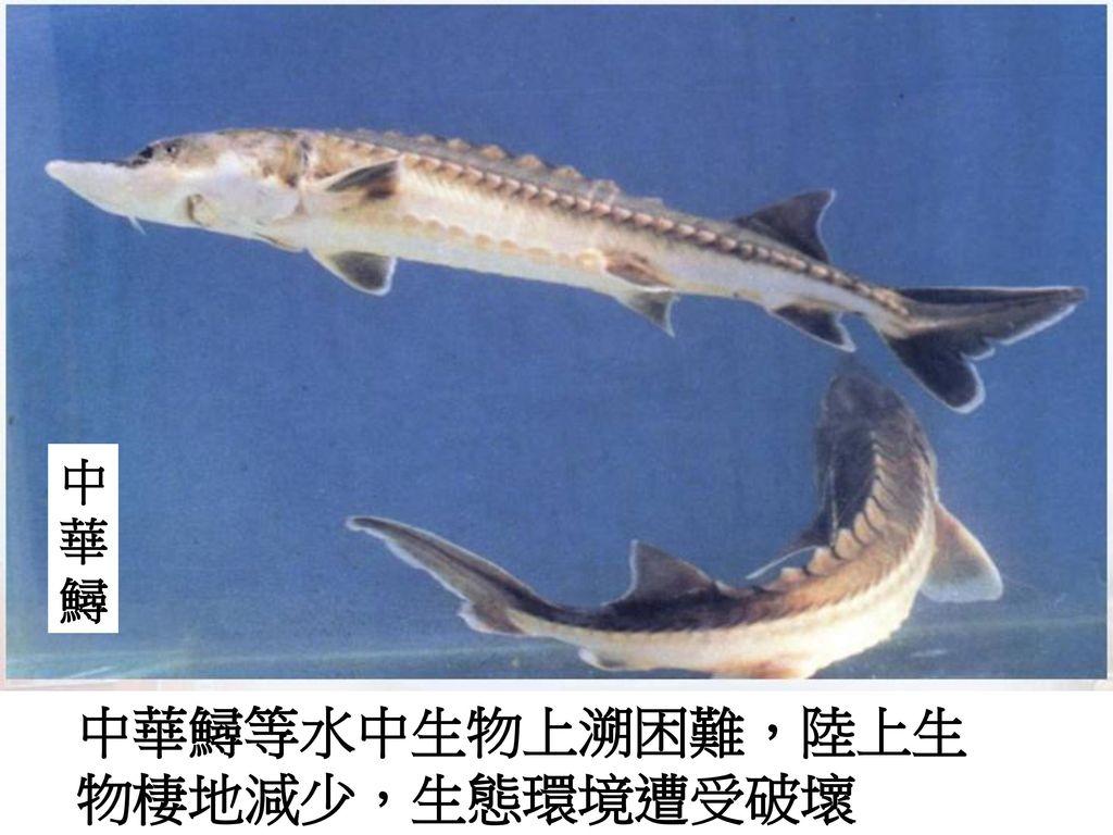 中華鱘等水中生物上溯困難,陸上生物棲地減少,生態環境遭受破壞