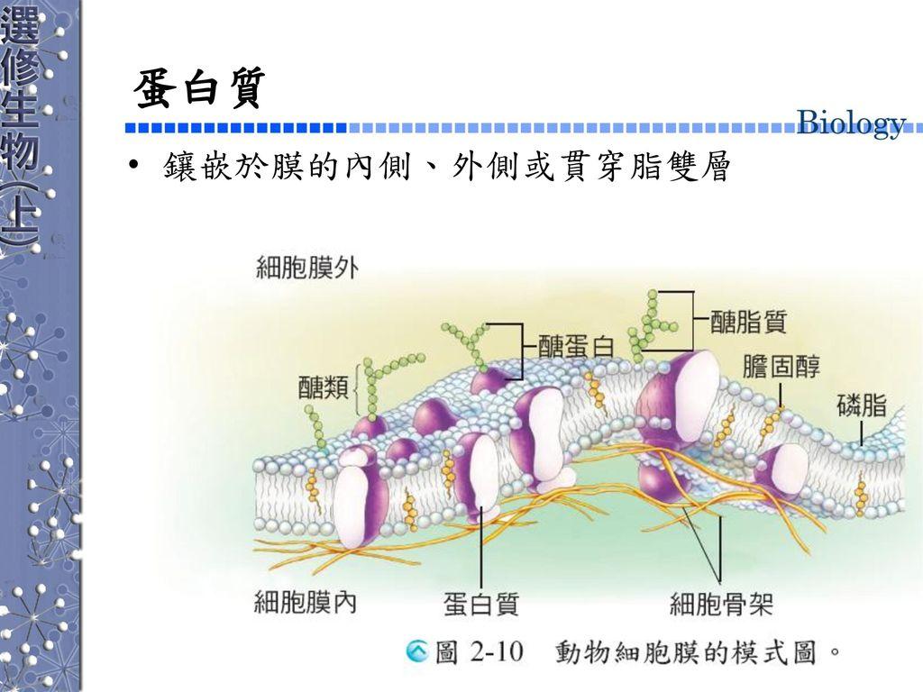 蛋白質 鑲嵌於膜的內側、外側或貫穿脂雙層