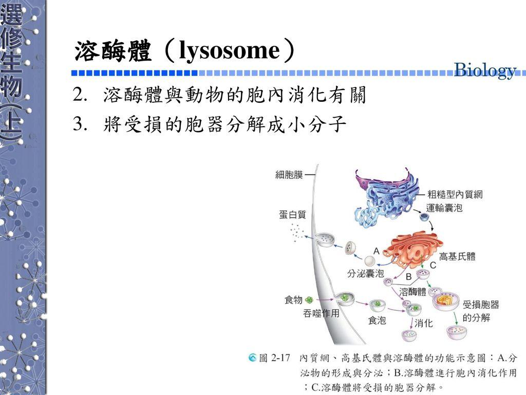 溶酶體(lysosome) 溶酶體與動物的胞內消化有關 將受損的胞器分解成小分子