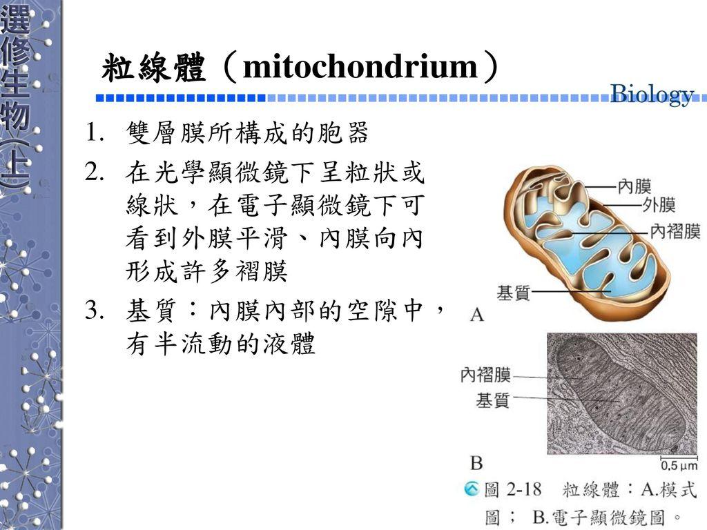 粒線體(mitochondrium) 雙層膜所構成的胞器 在光學顯微鏡下呈粒狀或線狀,在電子顯微鏡下可看到外膜平滑、內膜向內形成許多褶膜