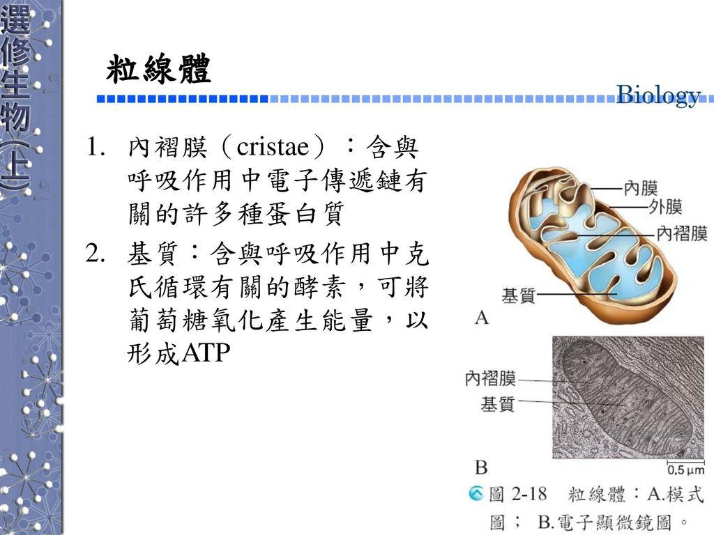 粒線體 內褶膜(cristae):含與呼吸作用中電子傳遞鏈有關的許多種蛋白質
