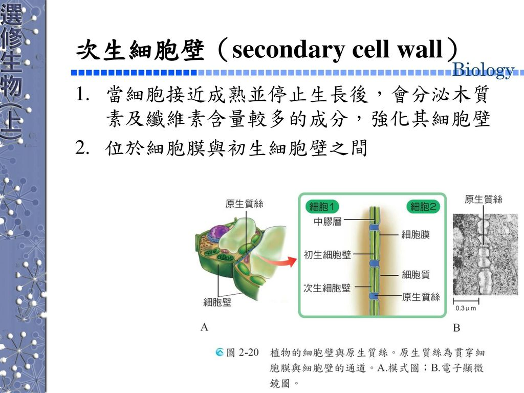 次生細胞壁(secondary cell wall)
