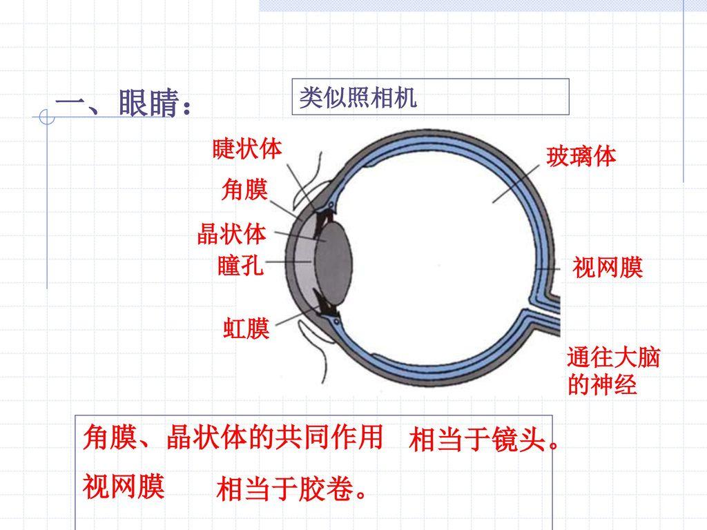 一、眼睛: 角膜、晶状体的共同作用 视网膜 相当于胶卷。 类似照相机 睫状体 玻璃体 角膜 晶状体 瞳孔 视网膜 虹膜 通往大脑的神经