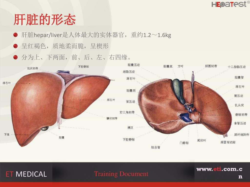 肝脏的形态 ET MEDICAL Training Document 肝脏hepar/liver是人体最大的实体器官,重约1.2~1.6kg