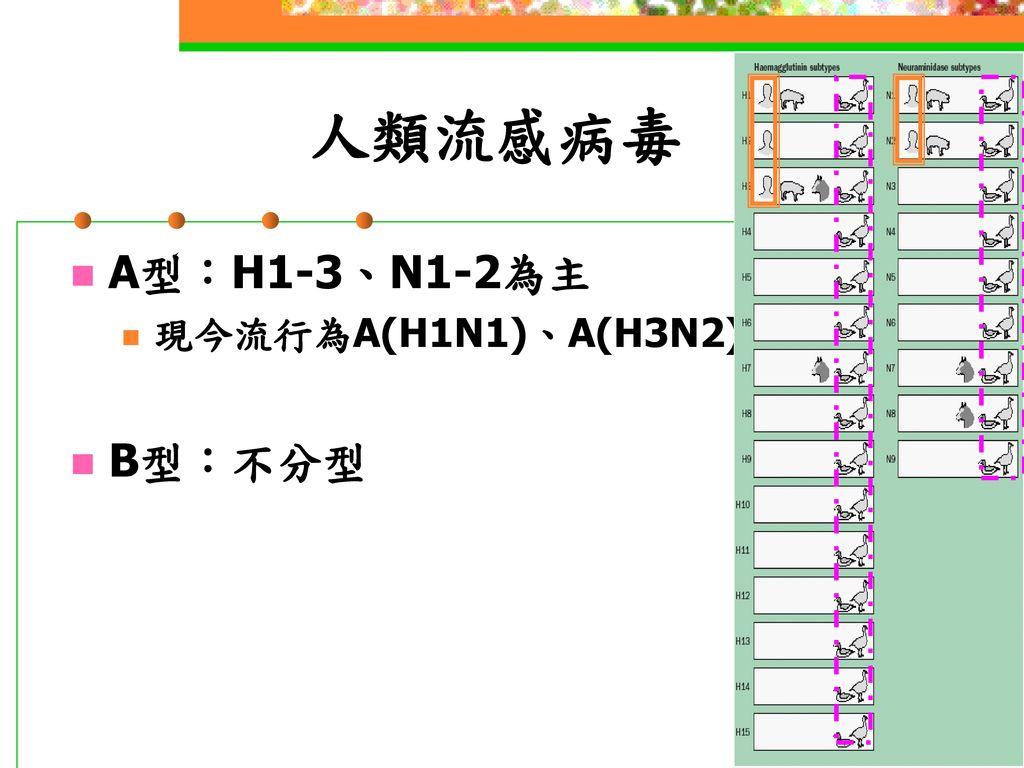 人類流感病毒 A型:H1-3、N1-2為主 現今流行為A(H1N1)、A(H3N2) B型:不分型