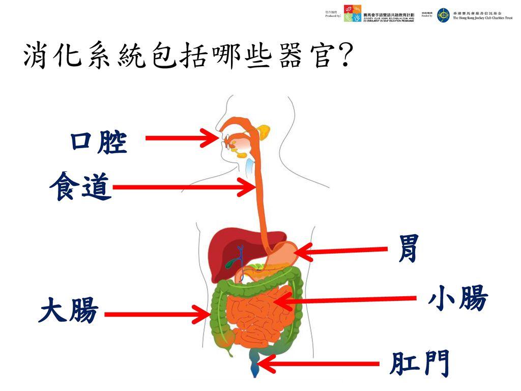 消化系統包括哪些器官 口腔 食道 胃 小腸 大腸 肛門