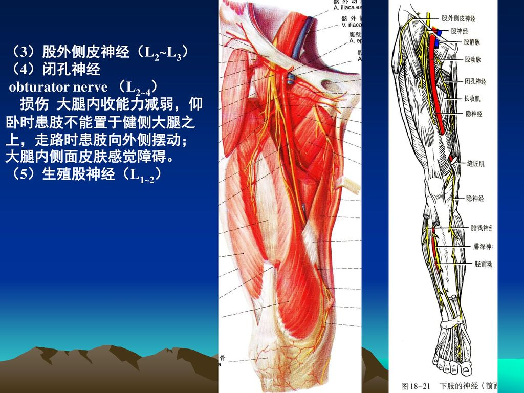 大腿神经分布图_周围神经系统 The peripheral nervous system 人体解剖学教研室 周庭永 ...