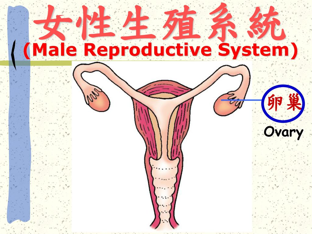 (Male Reproductive System)