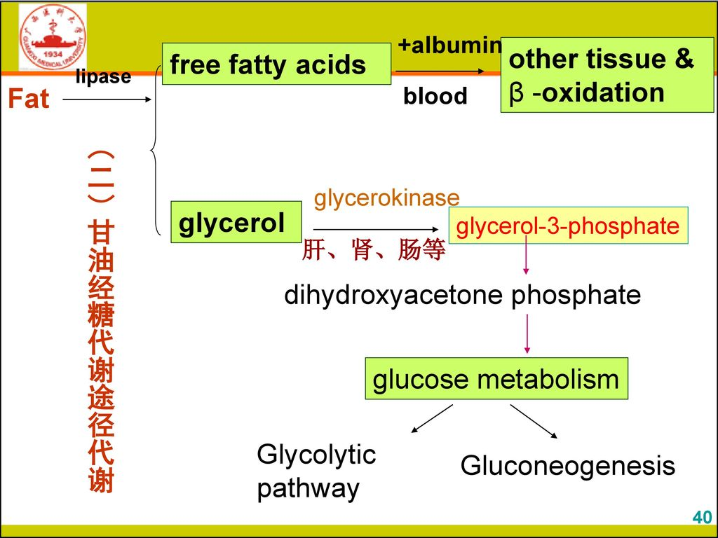 other tissue & β -oxidation free fatty acids Fat