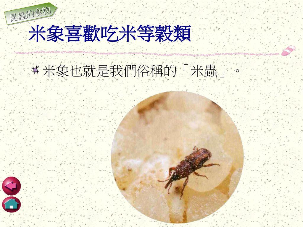昆蟲的食物 米象喜歡吃米等穀類 米象也就是我們俗稱的「米蟲」。