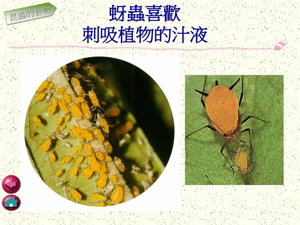 蚜蟲喜歡 刺吸植物的汁液 昆蟲的食物