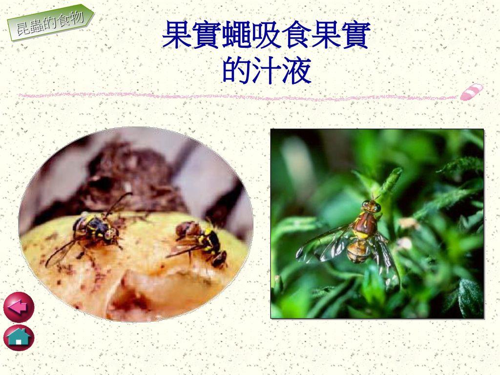 昆蟲的食物 果實蠅吸食果實 的汁液