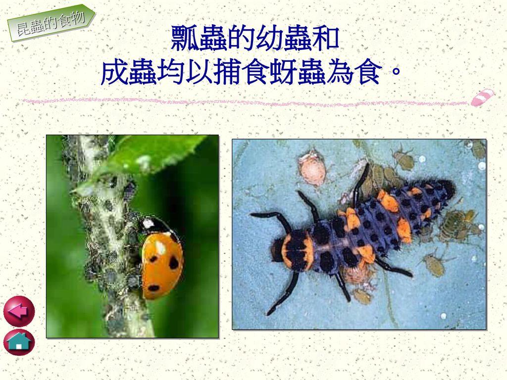 昆蟲的食物 瓢蟲的幼蟲和 成蟲均以捕食蚜蟲為食。