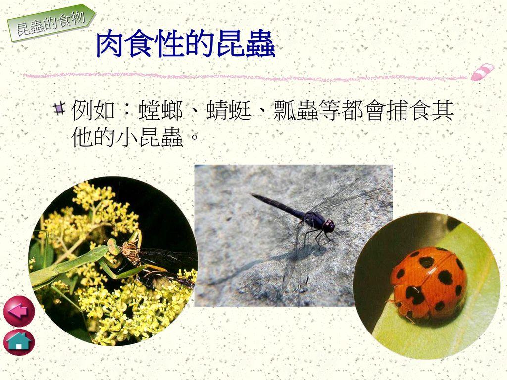 昆蟲的食物 肉食性的昆蟲 例如:螳螂、蜻蜓、瓢蟲等都會捕食其他的小昆蟲。