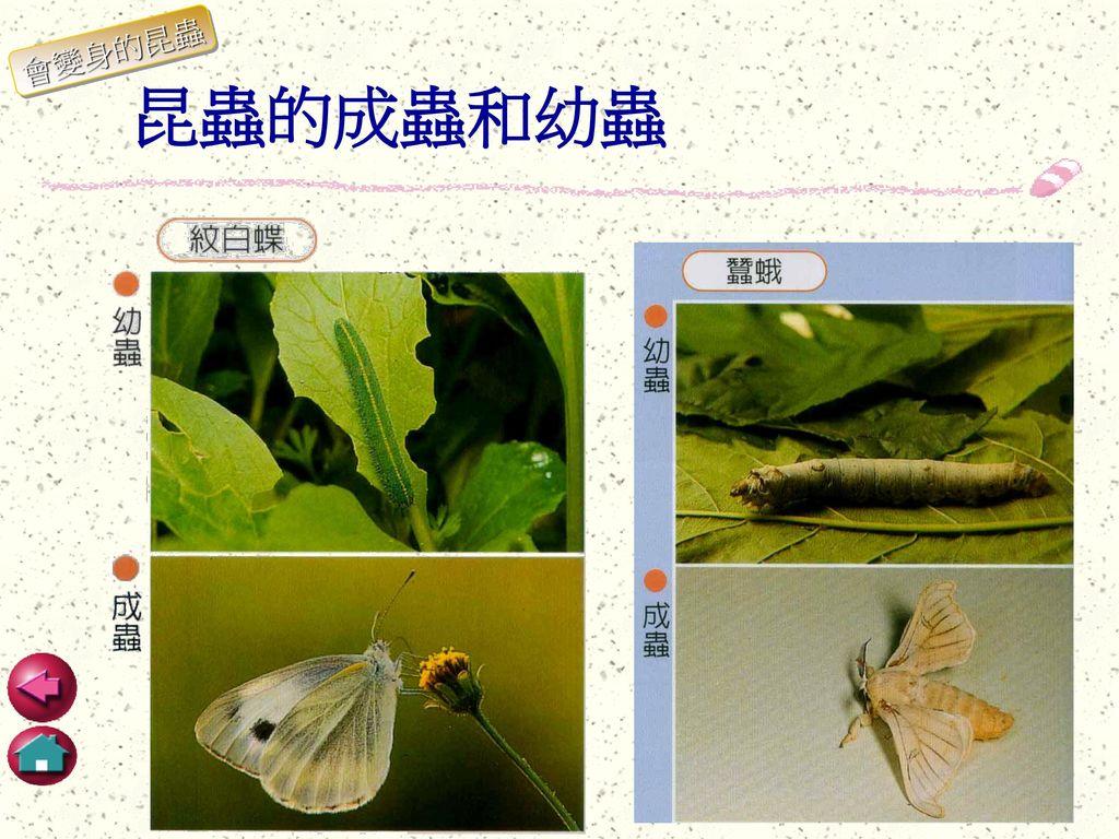 會變身的昆蟲 昆蟲的成蟲和幼蟲