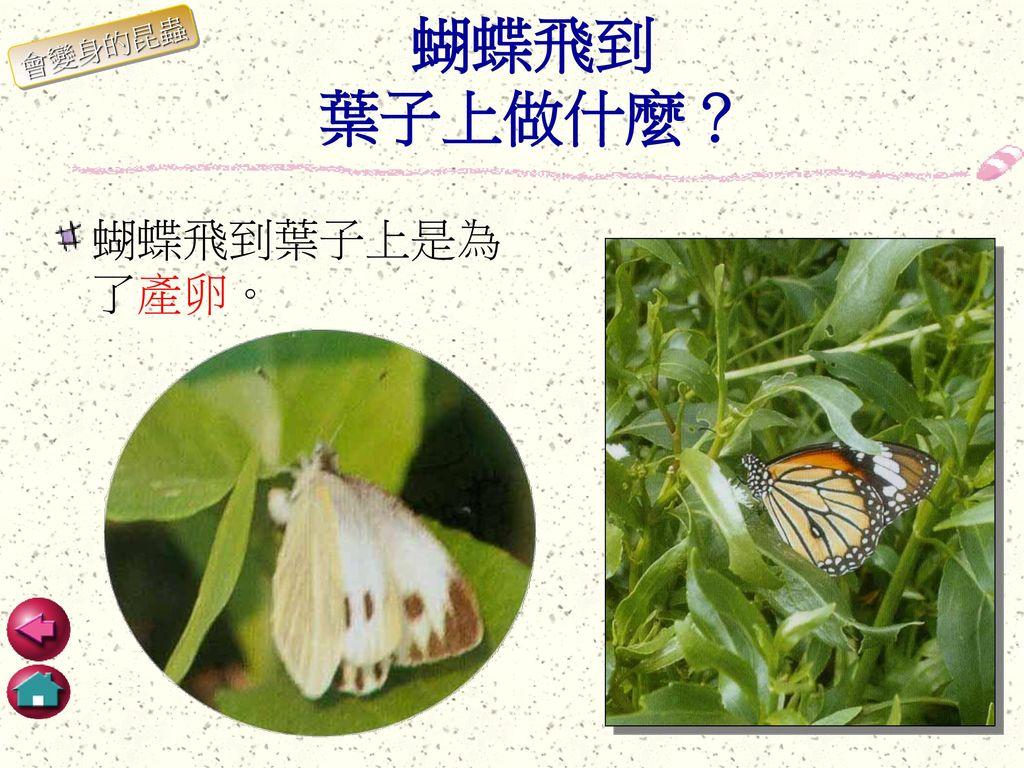 蝴蝶飛到 葉子上做什麼? 會變身的昆蟲 蝴蝶飛到葉子上是為了產卵。