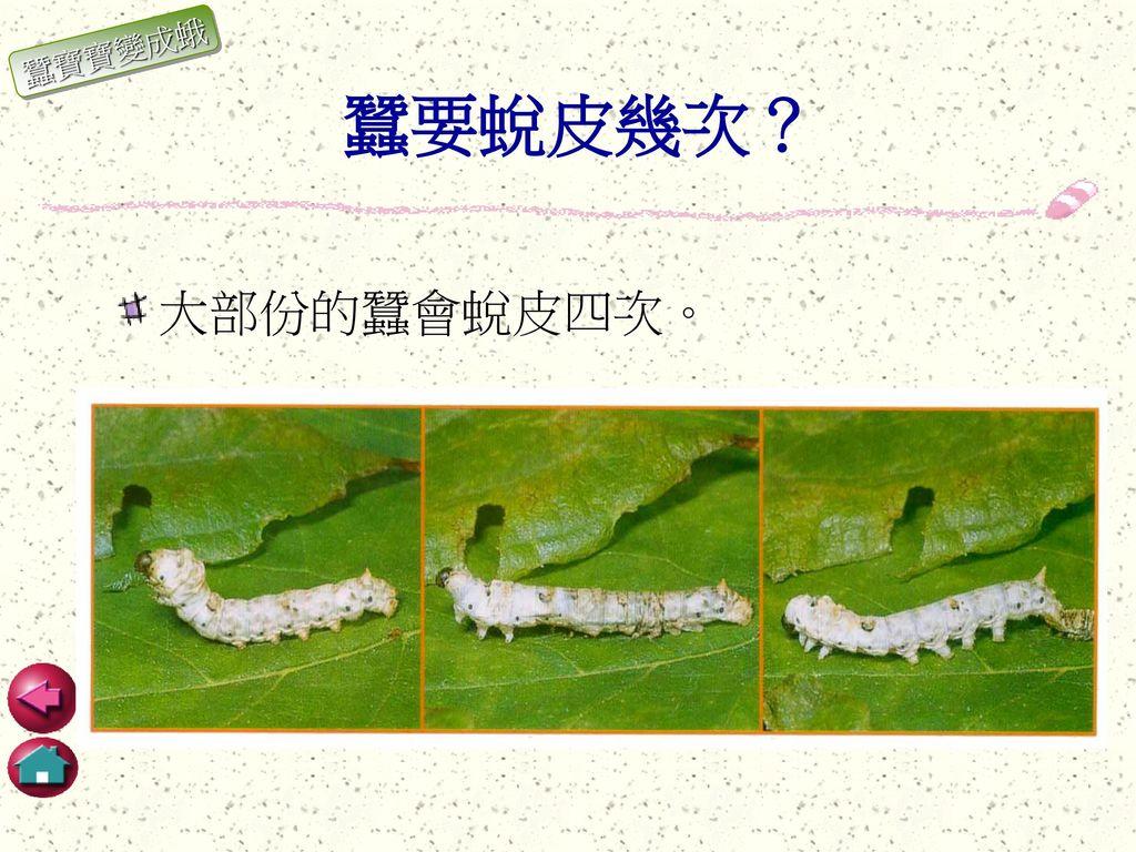 蠶寶寶變成蛾 蠶要蛻皮幾次? 大部份的蠶會蛻皮四次。