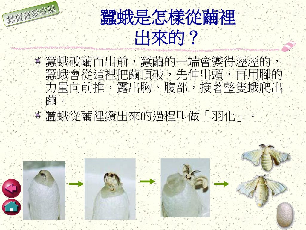 蠶蛾是怎樣從繭裡 出來的? 蠶寶寶變成蛾.