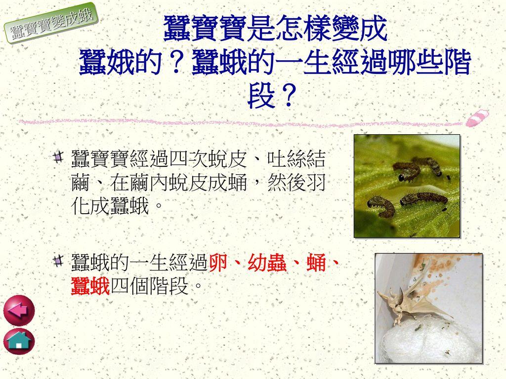 蠶寶寶是怎樣變成 蠶娥的?蠶蛾的一生經過哪些階段?