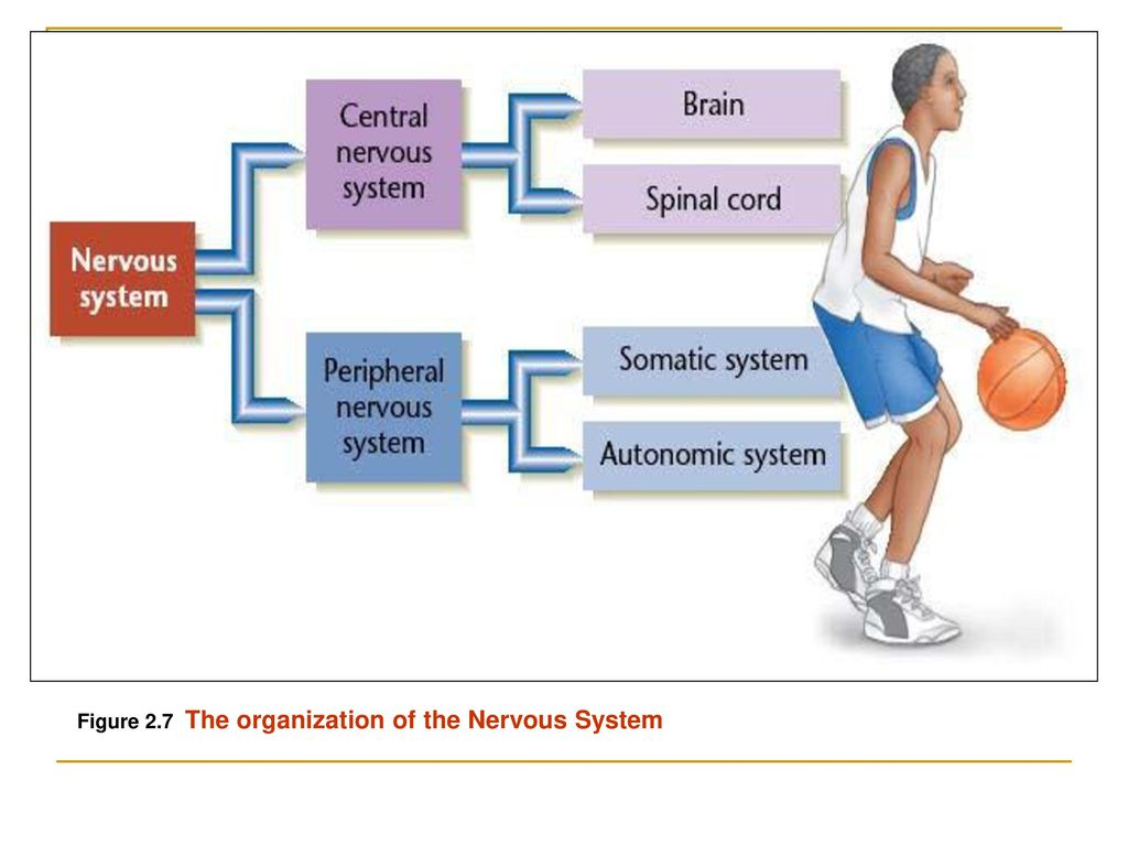 Figure 2.7 The organization of the Nervous System