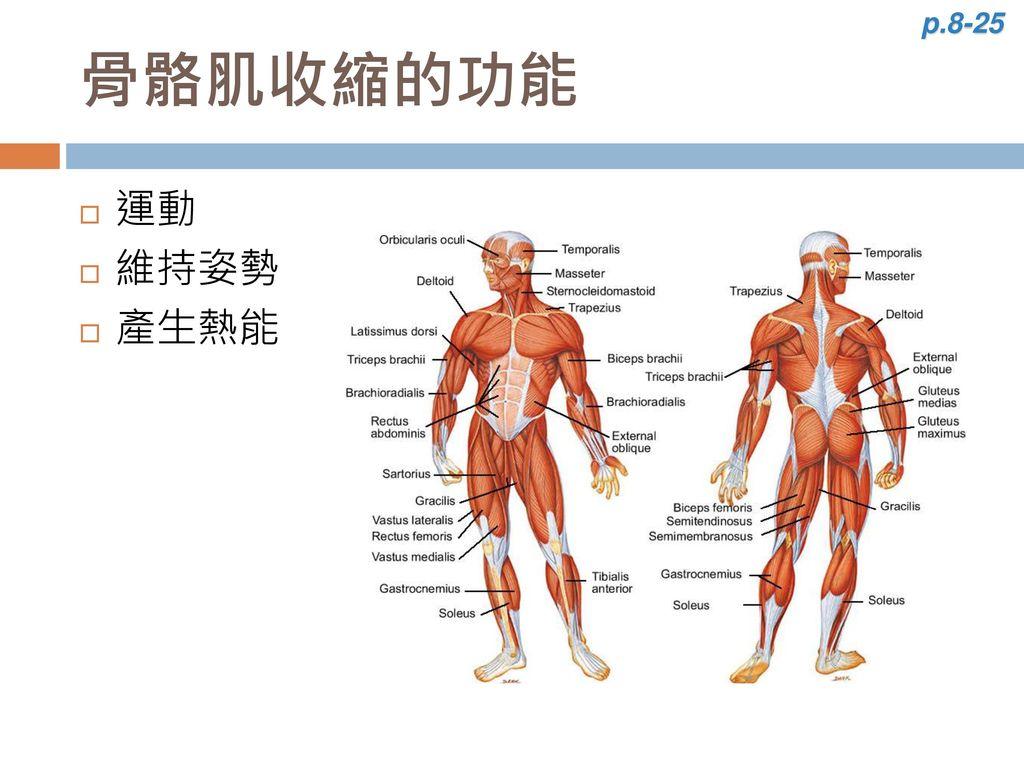 p.8-25 骨骼肌收縮的功能 運動 維持姿勢 產生熱能