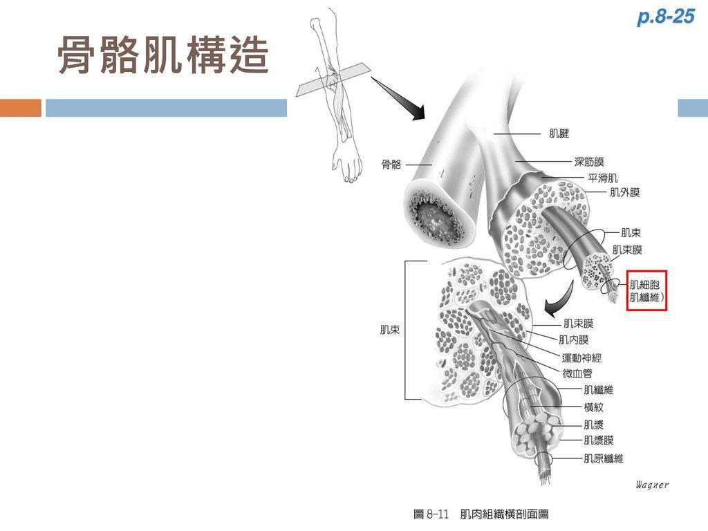 p.8-25 骨骼肌構造