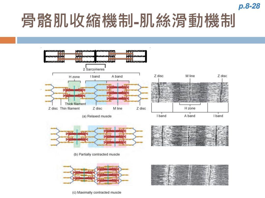 p.8-28 骨骼肌收縮機制-肌絲滑動機制