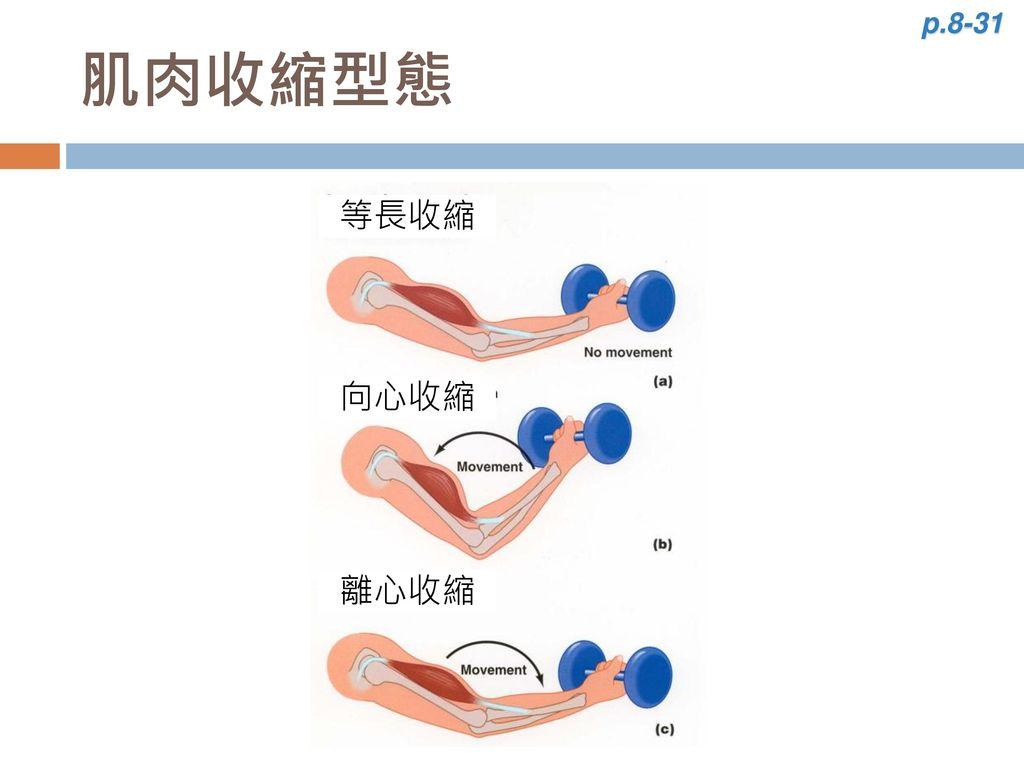 p.8-31 肌肉收縮型態 離心收縮 等長收縮 向心收縮