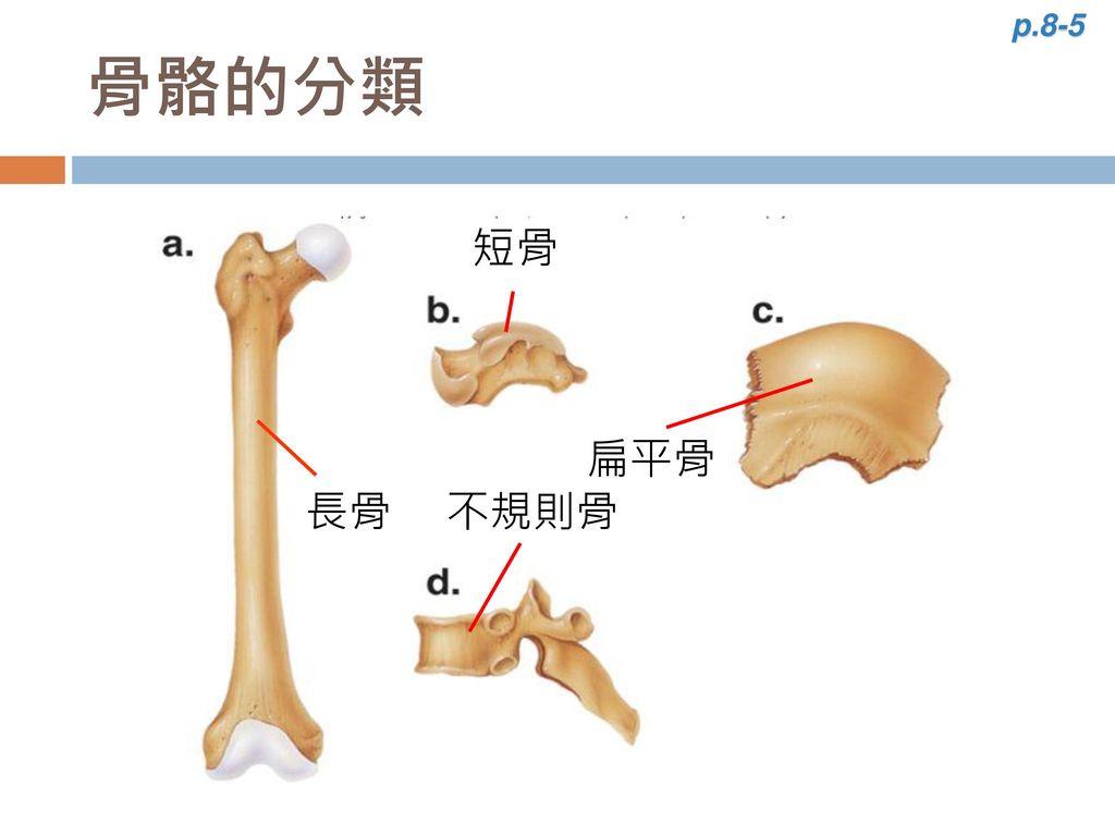 p.8-5 骨骼的分類 長骨 不規則骨 短骨 種子骨 扁平骨